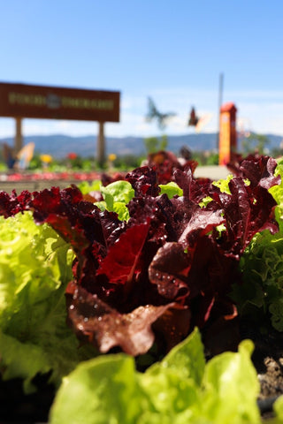 Lettuce growing at Food for Thought