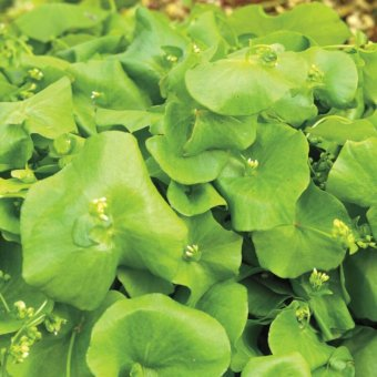 Miners Lettuce Claytonia