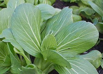 Pac Choi Seeds for Fall Planting