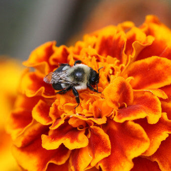 Marigold flowers for bees
