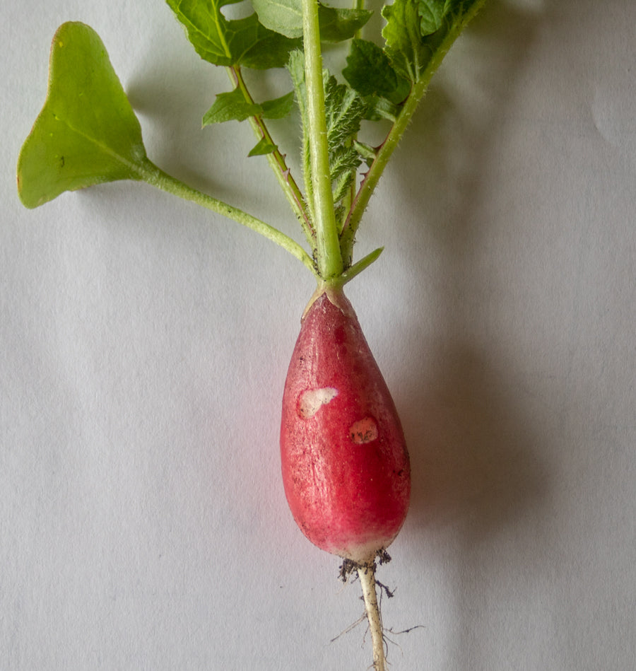 Radish nibbled by woodlice