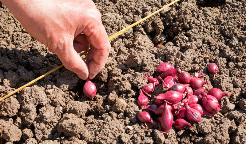 About Onions and How to Grow Them – West Coast Seeds