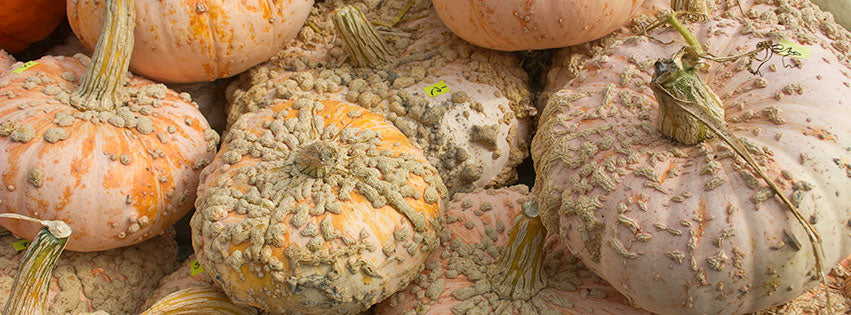 Galeux d'Eysines heirloom pumpkin