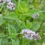 Flowering Peppermint Seeds HR1090 F
