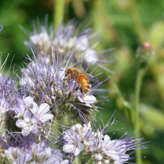 Phacelia flowers for bees