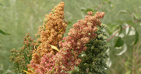 How to Grow Quinoa