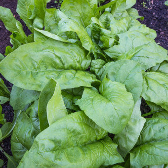Monstrueaux de Viroflay Spinach Seeds SP713-3