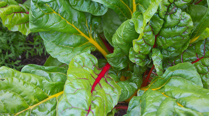 Certified Organic Swiss Chard Seeds