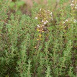 Thyme-in-Companion-Planting