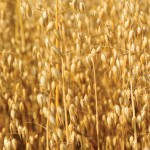 Oats in Companion Planting
