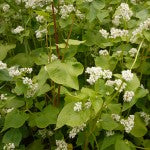 Buckwheat as a Companion Plant
