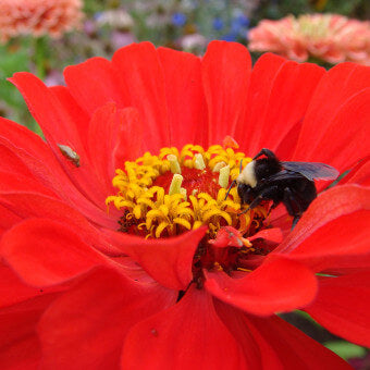 Zinnia flowers for bees