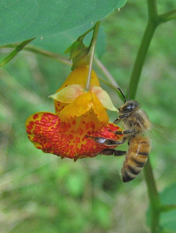 Honey bee on Jewelweed
