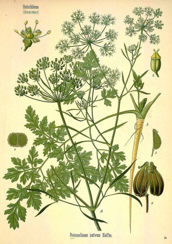 About Parsley - How to Grow Parsley
