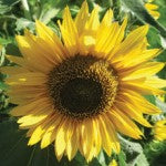 Sunflowers in Companion Planting