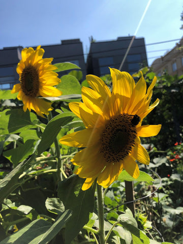 Sunflowers growing in gardens at scadding court community centre