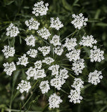 Ammi Majus Bishop's Flower Seeds
