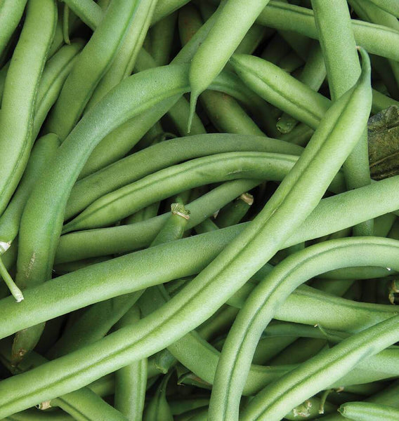 Mascotte Bush Vegetable Seeds Heirloom select QTY dwarf plant; container Bean
