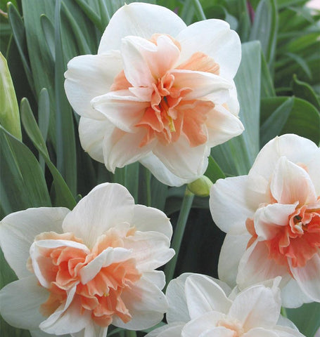 Delnasshaugh Daffodil Bulbs for Fall Planting
