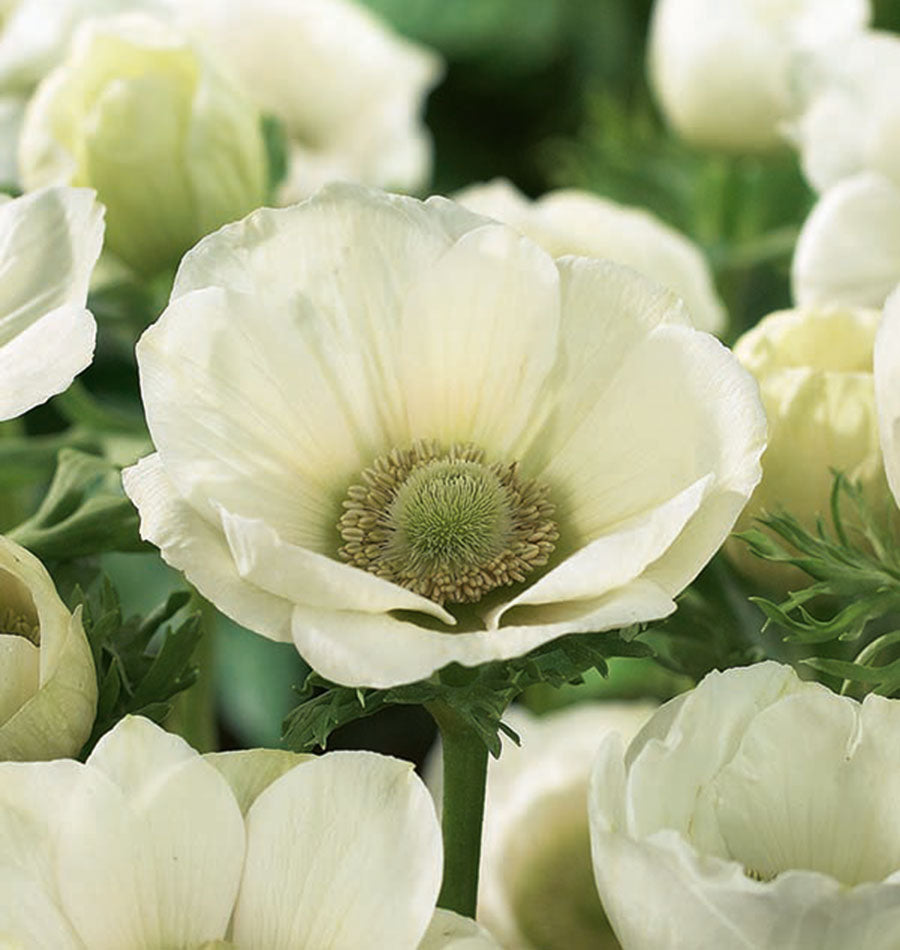 Image of Anemone The Bride