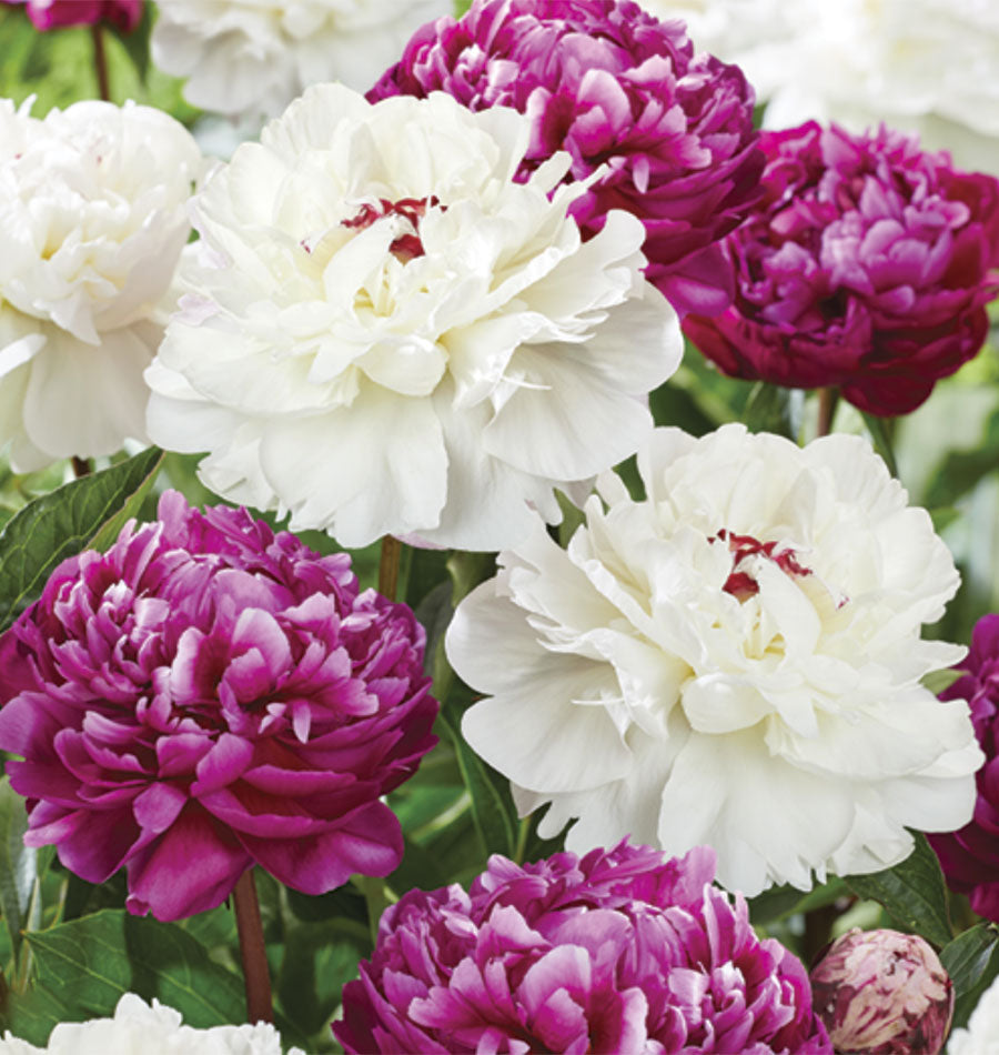 Image of Peony Peace and Patience