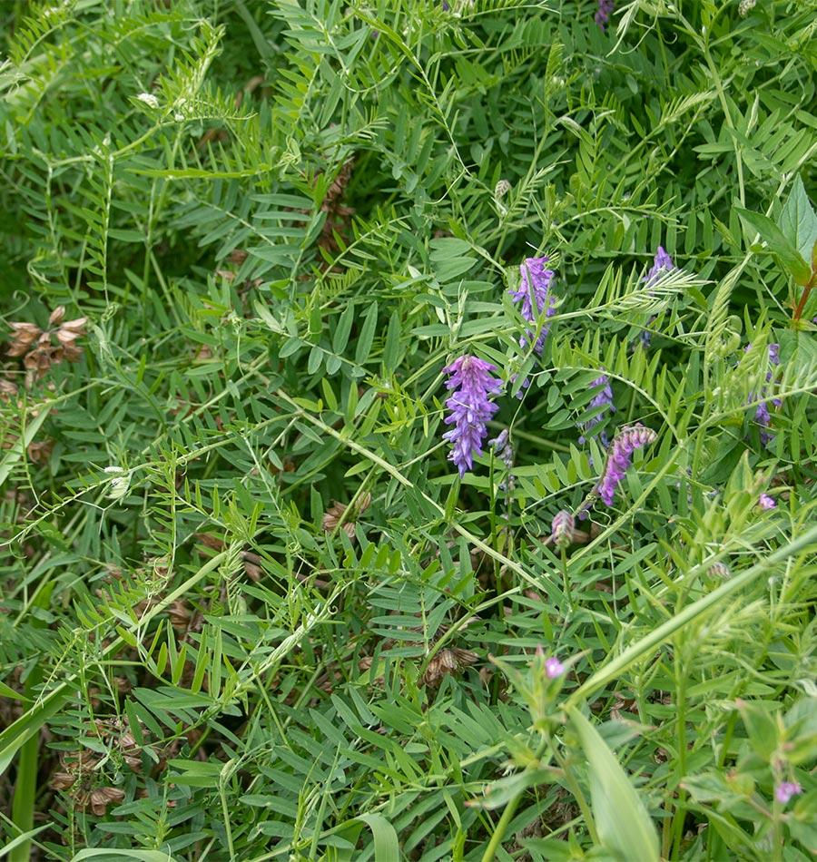 Image of Hairy Vetch