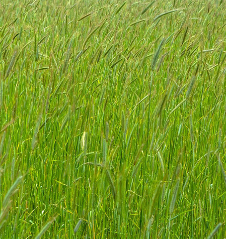 Annual Ryegrass Cover Crop Seed Certified Organic
