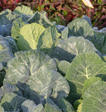 Top Bunch Collards Seeds