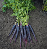 Deep Purple Carrot Seeds