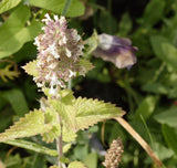 Flowering Catnip Seeds HR1049-F
