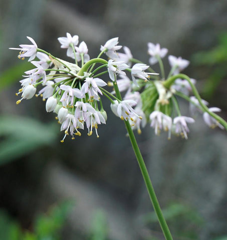 Nodding Wild Onion Seeds