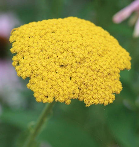 Yarrow in Companion Planting