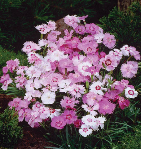 How to Grow Dianthus