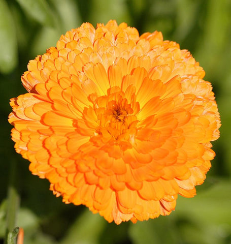 Indian Prince Calendula Seeds