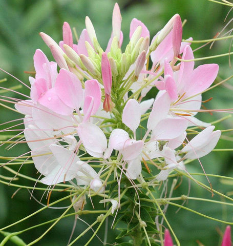 Spider Flower Cleome Seeds