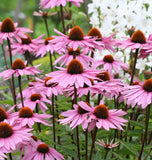 How to Grow Echinacea Coneflowers Purple