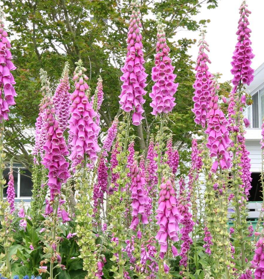 Image of Foxgloves