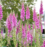 Foxgloves Purple