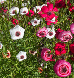 Linum Charmer Mix
