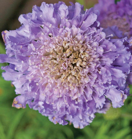 Imperial Blend Pincushion Scabiosa SeedsFL3015 1