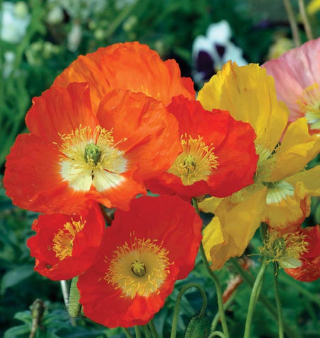 Iceland Poppy - 2g (approx  7874 seeds)