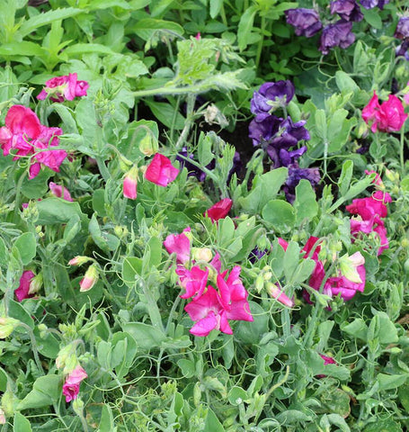 Patio Mix Sweet Pea Seeds