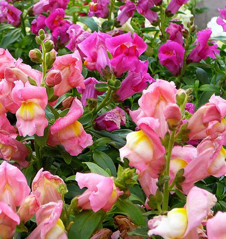 Rainbow Blend snapdragon seeds