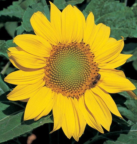 Zebulon Semi-Dwarf Sunflower