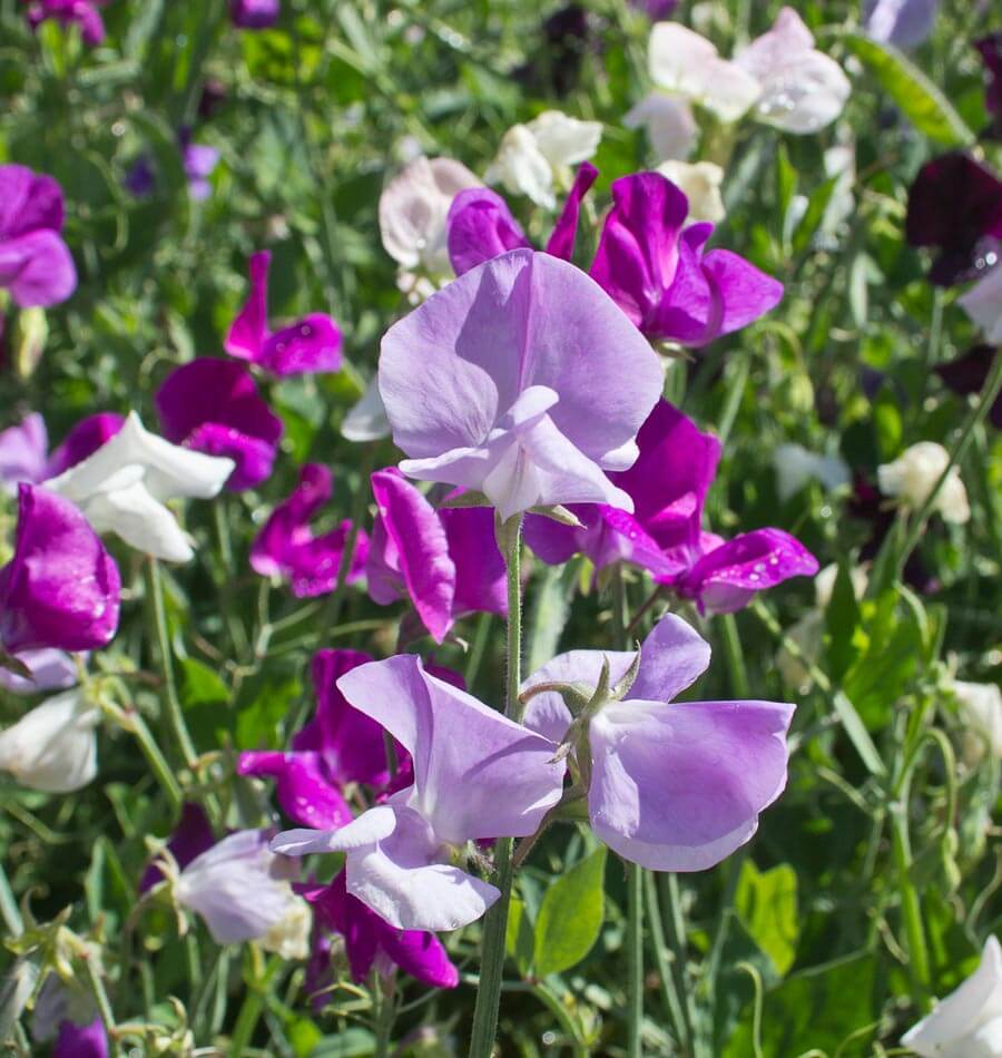 Bijou Blend Sweet Pea Seeds West Coast Seeds