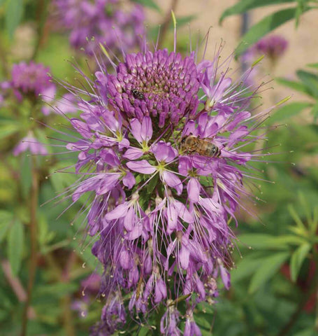 Rocky Mountain Bee Plant Seeds FL3816-1