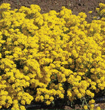 Basket of Gold Alyssum Seeds FL3820-1