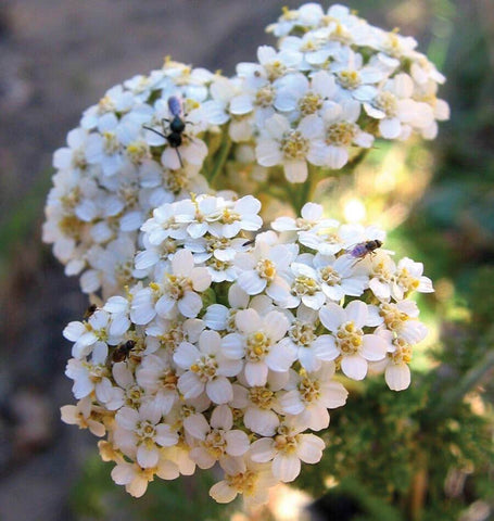 Western Yarrow Seeds