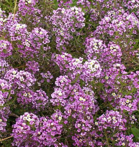 Dwarf Purple Alyssum Seeds