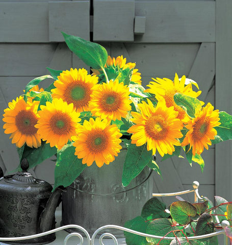 Sunrich Gold Sunflower Seeds